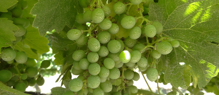 Un viticulteur refuse de traiter avec des pesticides : il encourt 30 000 euros d'amende et 6 mois de prison...