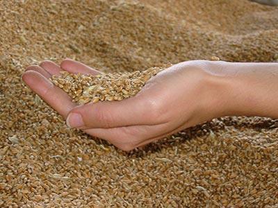 100 millions d'hectares sont consacrés aux OGM dans le monde
