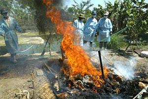 Grippe aviaire : craintes face à de cruelles méthodes d'abattage