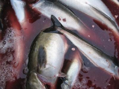 Des espèces de poissons menacées servies dans les cantines scolaires