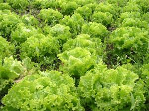Salades Biologique