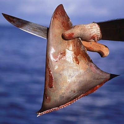 Le Parlement européen vote la fin de la découpe des ailerons de requin en mer Shark_finning