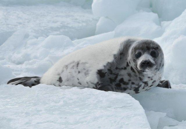 Plus de 17200 phoques du Groenland tués en deux jours...