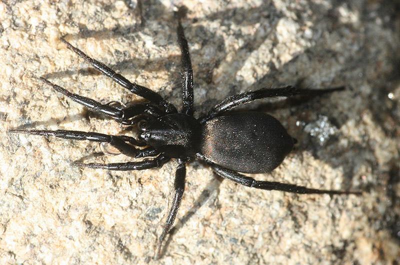 Petite bête Zelotes-egregioides