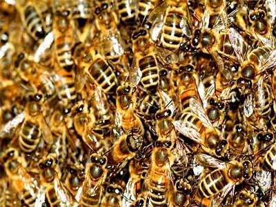 Les colonies d'abeilles sont victimes de la pollution de l'air et des produits chimiques