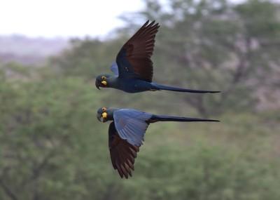 Ara de Lear <i>Anodorhynchus leari</i> : grâce aux efforts joints de nombreux acteurs, les populations de ce magnifique perroquet bleu augmentent de nouveau.