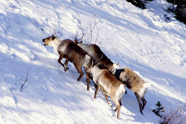 caribous_Alaska