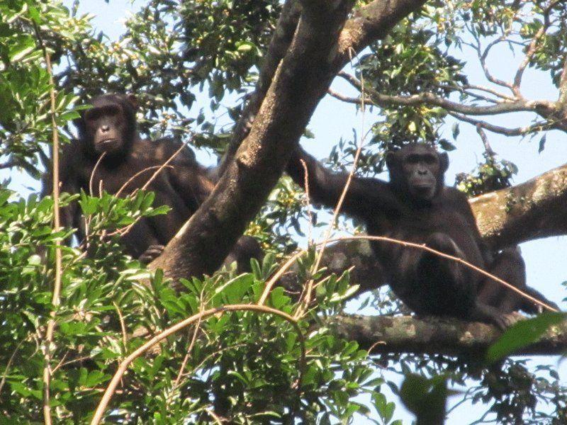 chimpanzes-foret-Congo
