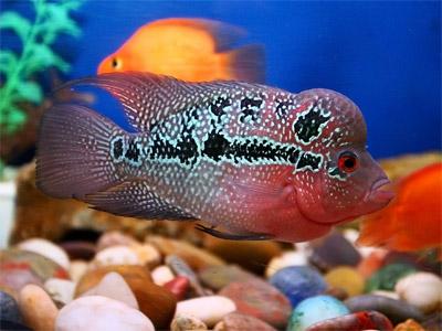flowerhorn_aquarium