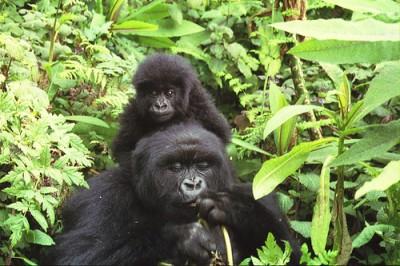 gorilles_rwanda.jpg