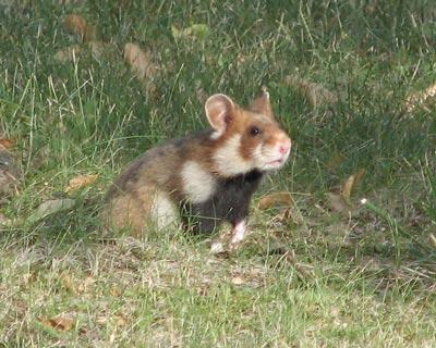 Une espèce de mammifères sur dix menacée en France métropolitaine