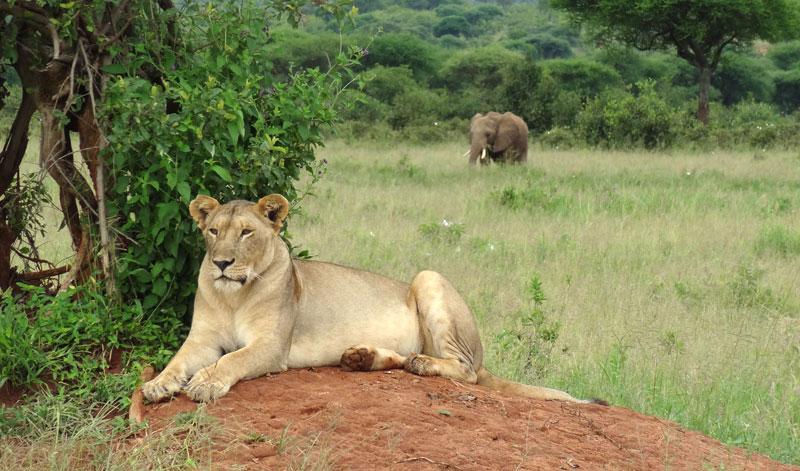 lionne elephant