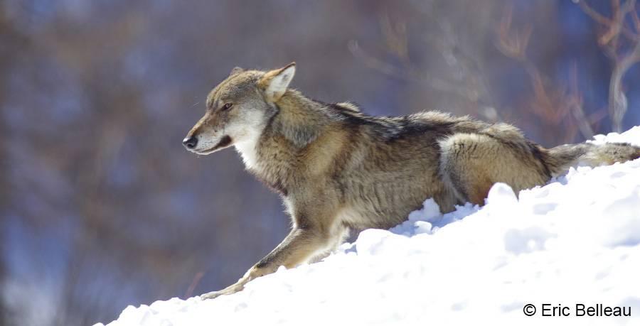 Nous N Avons Pas Domestique Le Loup C Est Lui Qui Nous A Amadoues