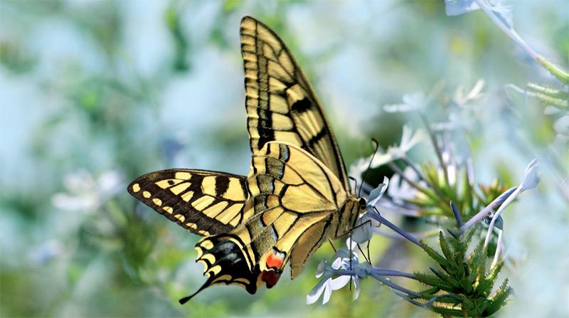 Les insectes pollinisateurs sont plus efficaces que les pratiques agricoles intensives  Machaon-fleur