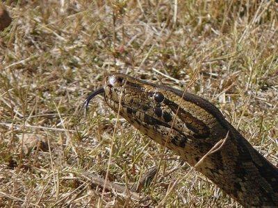 Python africain des montagnes
