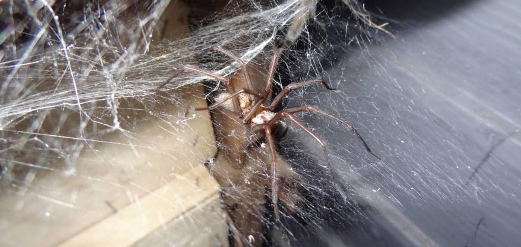 1509f7105ac Idée reçue   une araignée m a piqué dans mon lit ! - notre-planete.info