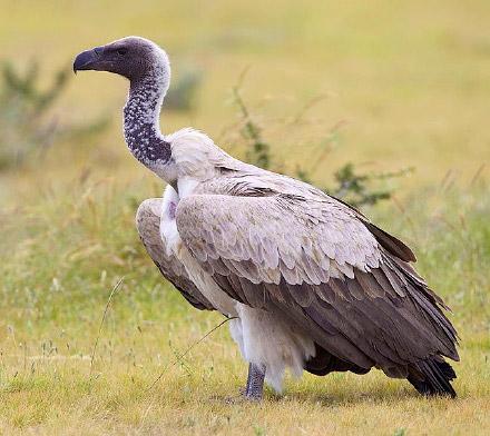 Disparition et programme de réintroduction des vautours en Inde Vautour_dos_blanc