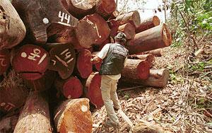 L'Union européenne baisse les bras face au commerce illégal de bois