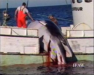 Malgré le renforcement du camp anti-chasse, 50 baleines à bosse vont mourir
