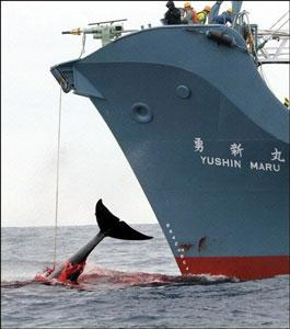 http://www.notre-planete.info/actualites/images/biodiversite/chasse_baleine_2006.jpg