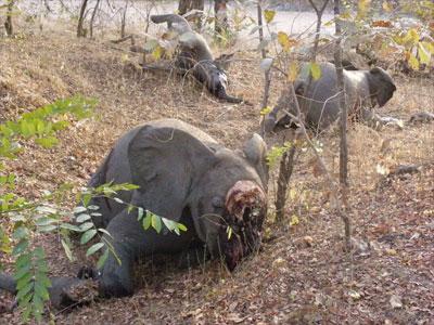 Plus de 200 éléphants massacrés depuis mi-janvier