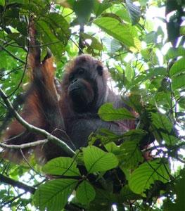 La survie des derniers orangs-outans nécessite une action internationale
