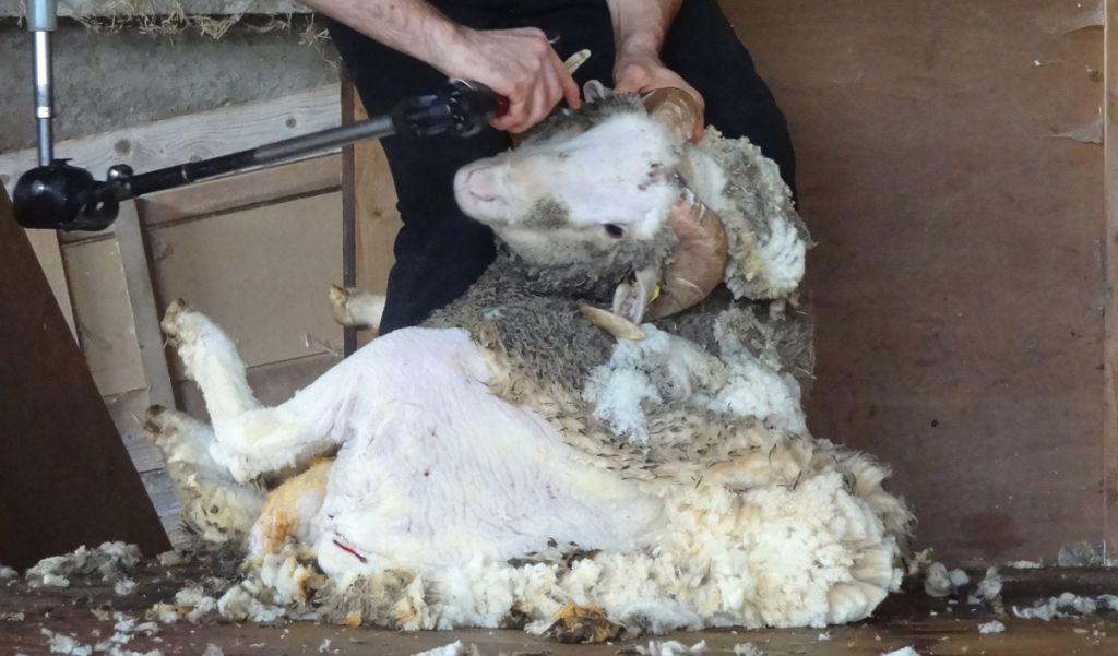 87324333813 L horreur de la tonte des moutons pour leur laine   une généralité ...