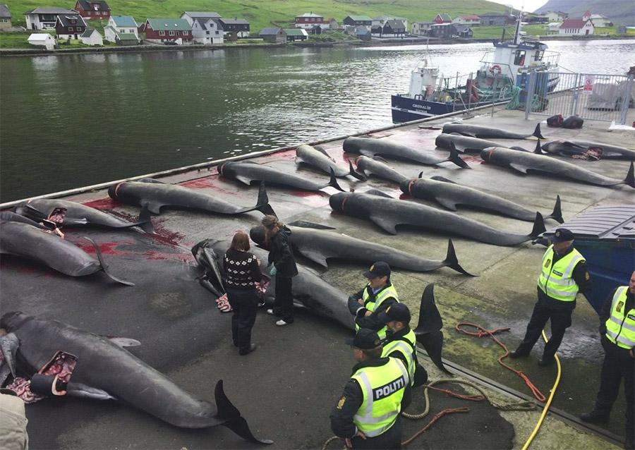 massacre dauphins îles Feroé 2015