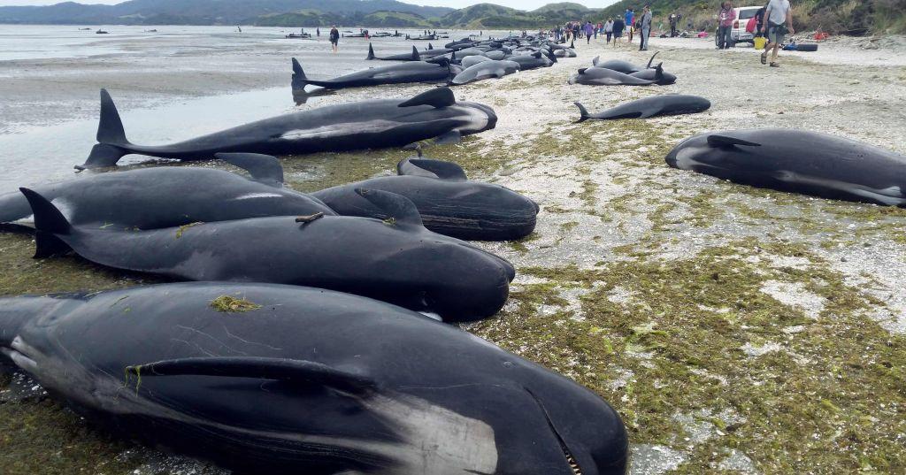 [EUROPÉENNE 2019] Promesses idiotes, duel bidon… Pourquoi je vais voter UPR. Echouage-baleines-pilotes-NZ-022017