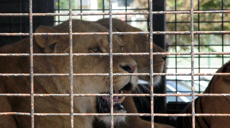 Militants de la cause animale de tous les pays, unissez-vous !  Lionnes-cage-cirque