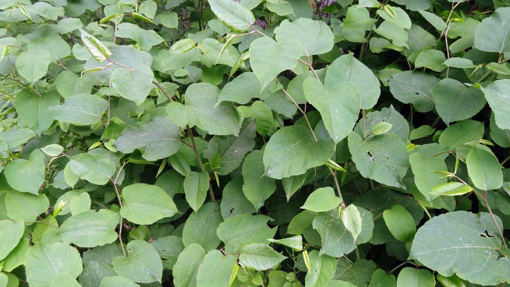 Les plantes envahissantes