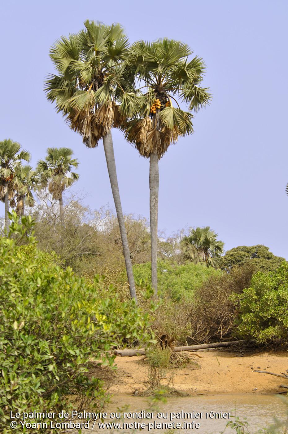 palmier ronier