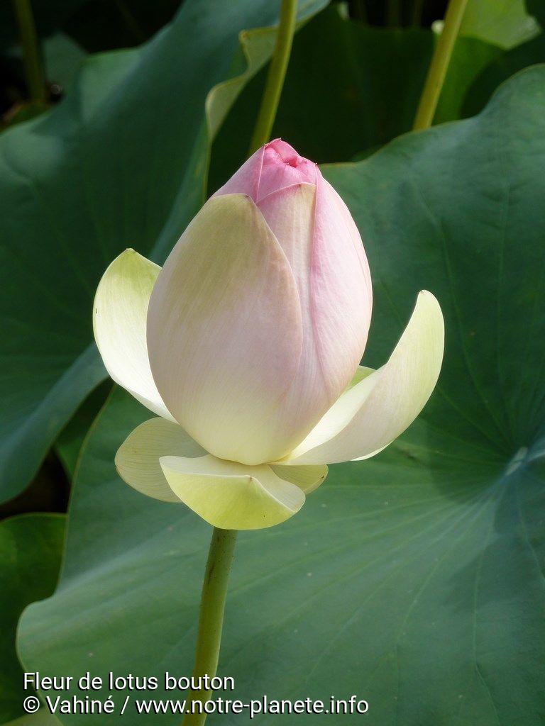 Fleur De Lotus Bouton Notre Planete Info