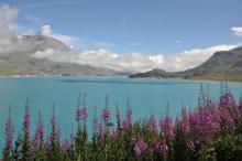 Epilobe en épi - Lac du Mont-Cenis