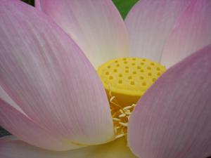 Fleur De Lotus En Bouton Notre Planete Info